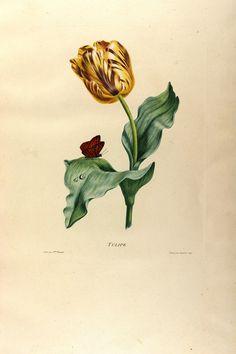 Tulipa gesneriana var. hort. - circa 1820