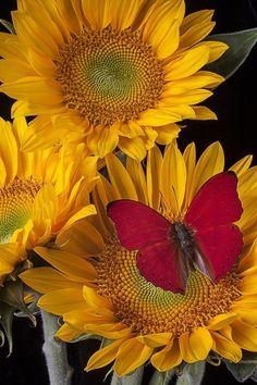 sunflowers (1) Tumblr