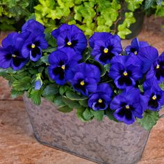 Pansy Grandio Blue wwith blotch from NGB member Sakata - National Garden Bureau - A beautiful new blue with blotch pansy that's a reliable bloomer for fall, winter and spring. The Grandio series is compact with less plant stretch in high heat, has shorter flower stems under long warm days and keeps flowering under short days. #springflowers #gardeningtips #fallflowers