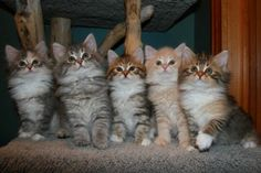 Kitten Album Litter L Siberian Kittens, I Laughed, Smile, Album, Animals, Gatos, Animales, Animaux, Animal