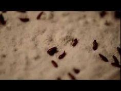 How to keep a flour beetle colony