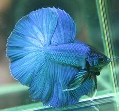 Awesome Betta fish tail