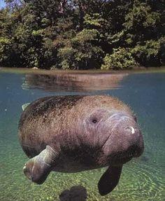 Uno de los animales mas grandes de Costa Rica: el manatí o vaca marina