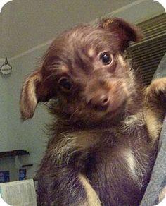 Richmond, MI - Chihuahua/Pomeranian Mix. Meet Suzy and sam a Puppy for Adoption.
