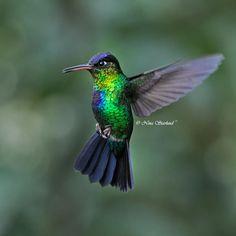 Male Fiery-throated Hummingbird, Costa Rica
