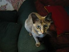 Topaz a chocolate tortie with freckles Burmese, Freckles, Topaz, Chocolate, Cats, Animals, Gatos, Animales, Animaux