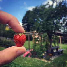 Some people say summer is bad. Some people say winter is bad. And I love both.  #summer #sun #strawberry #love #hot #sunnyday #sunny #garden #red #juicy #look #beautiful #cute #small #hello #weather #tree #focus #photo #yay