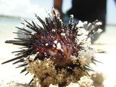 Un eriso de mar