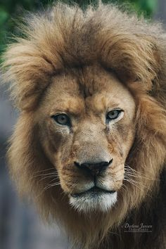 An African Male Lion Giving the Bold Look.