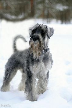 My 3 years old mittelschnauzer Heaven Elfs Alive Fire.