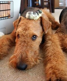 Airedales are just awesome dogs 🐾🐾 Fox Terriers, Wire Fox Terrier, Airedale Terrier, Welch Terrier, Airline Pet Carrier, Lakeland Terrier, Irish Terrier, Dog Life, Cute Dogs