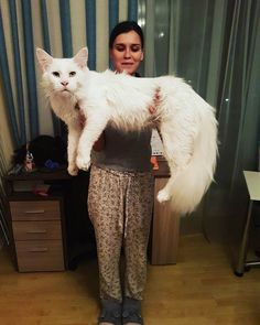 Kitty Grows Up Hugging His Human Every Day, Won't Stop Even After Becoming A GIANT A Mane Coon Cat is bigger than regular house cats, but this one is bigger than some dogs!! Cute, too.