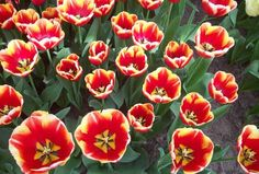 Tulips from the Keukenhof Gardens, Lisse, Holland