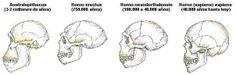 evolución cerebros homínidos