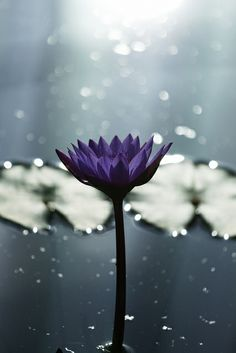 Pretty Purple Water Lily