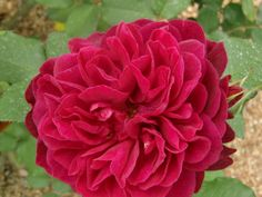 Rose Darcey Bussel