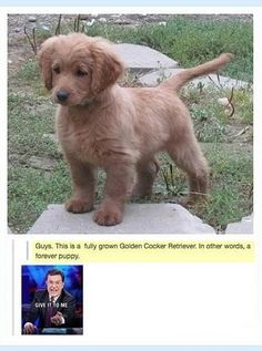 A Golden Cocker Retriever- a Forever puppy- I want one, he's so cute! Funny Animal Memes, Cute Funny Animals, Cute Baby Animals, Funny Cute, Funny Dogs, Animals And Pets, Cute Dogs, Cute Animal Humor, Cute Animals Puppies