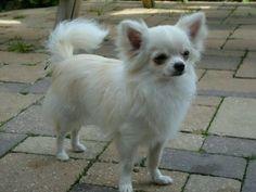 Chihuahua Dekreu