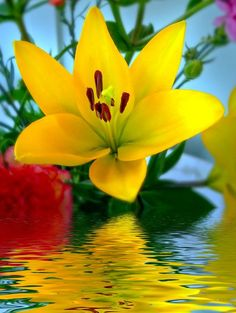 A beautiful yellow lily reflected in the water.