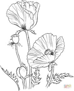 Oriental poppy   Super Coloring. Blow up wall size and watercolor