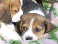 Are you interested in a Beagle? Well, the Beagle is one of the few popular dogs that will adapt much faster to any home. Whether you have a large family, p Cute Beagles, Cute Puppies, Dogs And Puppies, Love My Dog, Baby Beagle, Beagle Puppy, Pet Dogs, Dog Cat, Doggies