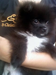 Pomeranian <3 Looks like my baby girl!