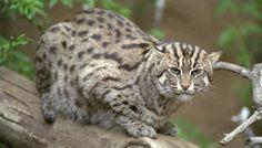 bobcats the animal | Bobcat Scientific Name