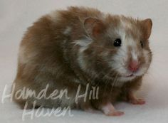 What are your favourite Syrian hamster colours? - Hamster Central