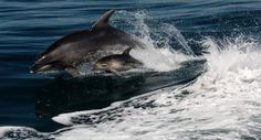 Dolphin leaping from the water, ExploreNZ (Dolphin/Sail Adventure Combo)