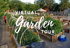 Making Mozzarella with Fig Sap - Garden Variety Life Cucumber Recipes, Cucumber Salad, Fig Leaf Tea, Make Mozzarella Cheese, Arizona Gardening, Fig Leaves, Homemade Cheese, Fig Tree, How To Make Cheese