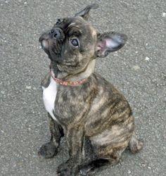boston terrier pug mix! PICKLES!!