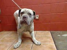 PLEDGES AND RESCUE NEEDED! A4787574 My name is Theo and I'm an approximately 3 year old male mastiff. I am already neutered. I have been at the Downey Animal Care Center since December 29, 2014. I am available on January 3, 2015. You can visit me at my temporary home at D624. https://www.facebook.com/photo.php?fbid=796408823772785&set=pb.100002110236304.-2207520000.1421275733.&type=3&theater