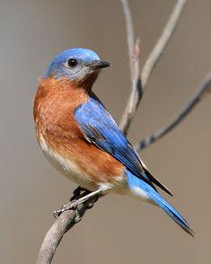 Eastern Bluebird (Sialia sialis) - photo by J. Wells
