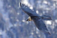 alpen Bartgeier berge Geier Vogel Wildlife