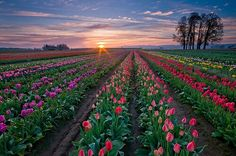 Do you love nature? come and see our site of nature.we've wide range collection of pictures in nature.Many beautiful natures are here. Tulips Garden, Tulips Flowers, Beautiful Flowers, Beautiful Scenery, Beautiful Sunset, Wallpaper Fofos, Tulip Festival, Tulip Fields, Belle Photo