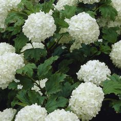 If you're seeking an easy care plant with showstopping summer blooms, look no further. White Wedding Hydrangea can take heat and cold as well as heavy winter pruning. Kew Gardens, White Gardens, Back Gardens, Outdoor Gardens, Hydrangea Landscaping, Front Yard Landscaping, White Flowers, Beautiful Flowers, Annabelle Hydrangea