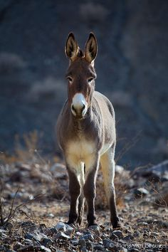 Wild burro in Panamint Valley. Can't tell if it's a Jack or a Jenny. Wild Dogs, Wild Horses, Zebras, Beautiful Creatures, Animals Beautiful, Burritos, Farm Animals, Cute Animals, Cute Donkey