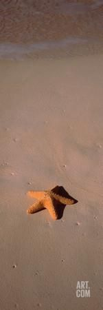 Starfish on the Beach, Bahamas Photographic Print by Panoramic Images at Art.com