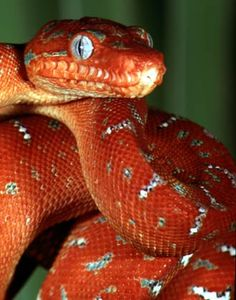 Juvenile Amazon Basin Emerald Tree Boa