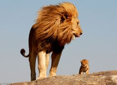 Real life Lion King!! Look how cute the baby is!!!