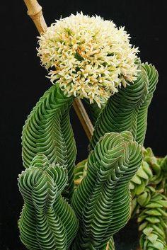 Crassula Buddhas Temple Famiglia Crassulaceae