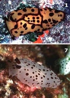 Sea slug- Berthella martensi
