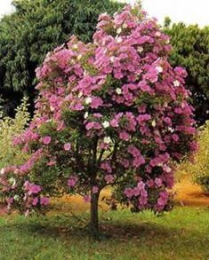 Small Flowering Trees Front Yards_52