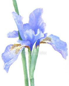 iris watercolor painting archival print 8 x 10 via Etsy by constance Watercolor Pictures, Watercolor Artists, Watercolor Print, Watercolor Flowers, Watercolor Paintings, Watercolours, Iris Painting, Painting & Drawing, Pussy Willow