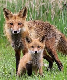 """beautiful-wildlife: """" Fox Mother with Kit by Chad Taylor """""""