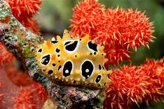 Image: Nudibranch (Phyllidia ocellata) (© David Fleetham/Taxi/Getty Images)