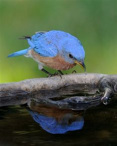Eastern Bluebird at the birdbath World Birds, All Birds, Little Birds, Love Birds, Pretty Birds, Beautiful Birds, Animals Beautiful, Cute Animals, Wild Animals