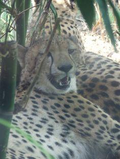 Cheetahs having a rest by Cheetah Chase, Busch gardens, Tampa, Florida.