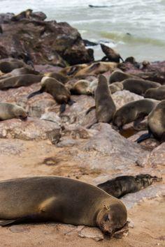 Colónia de Focas em Cape Cross, Namibia. Clique aqui para ler mais sobre este local Seal, Baby Seal, Cute Pets, World, Beautiful Cats, Animales, Harbor Seal