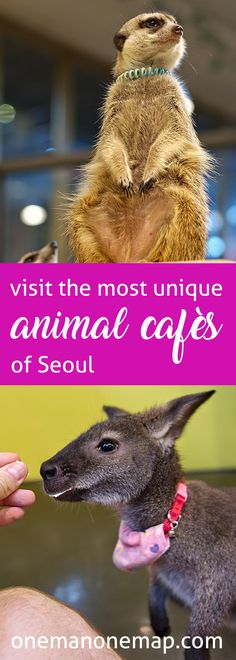 Korea is a heaven of themed cafes! Read more about Seoul's most interesting and unique animal cafes you don't want to miss and hang out with racoons and meercats!